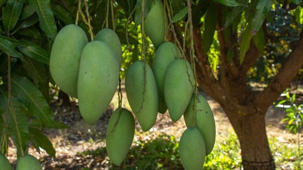 Vietnamese green mango exports to Australia double in H1 hinh anh 1