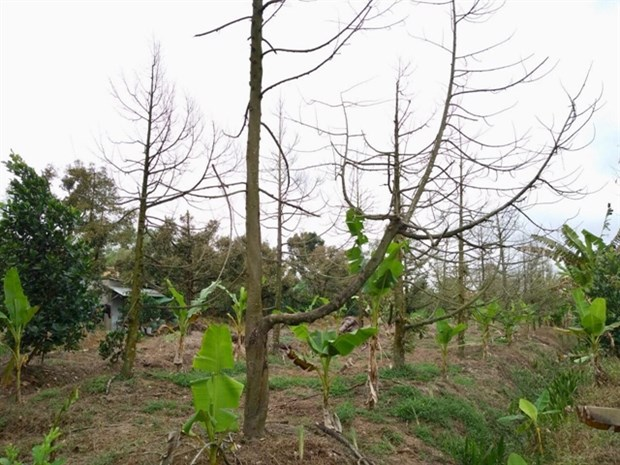 Tien Giang revives durian orchards hit by saltwater intrusion hinh anh 1