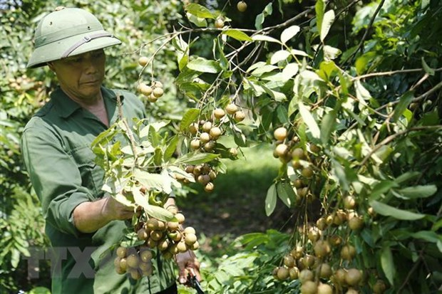 Vietnam works to boost longan exports to China hinh anh 1