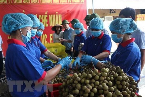 Hai Duong longan set for export to Australia hinh anh 1
