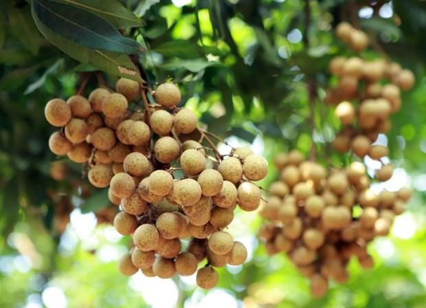 Dozens of tonnes of Vietnamese longan enter Australia over past few weeks hinh anh 1