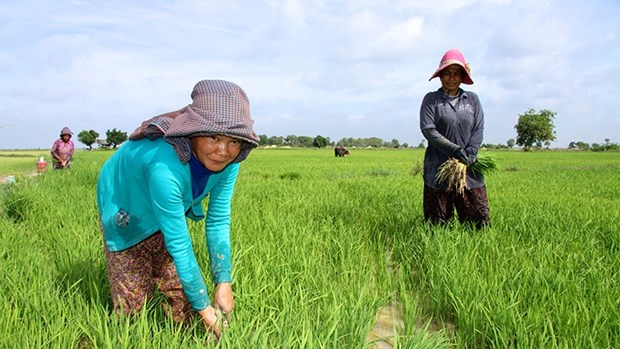 Agricultural industry to account for 32 percent of Cambodia's GDP hinh anh 1
