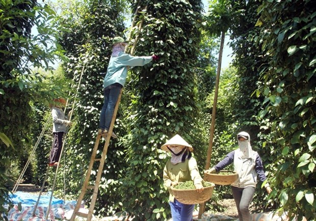 Exports of pepper to India at risk hinh anh 1