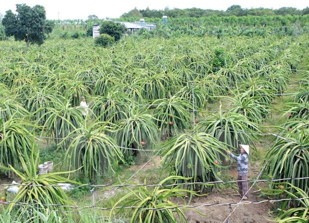 Fruit exporters seek new markets to survive pandemic hinh anh 1
