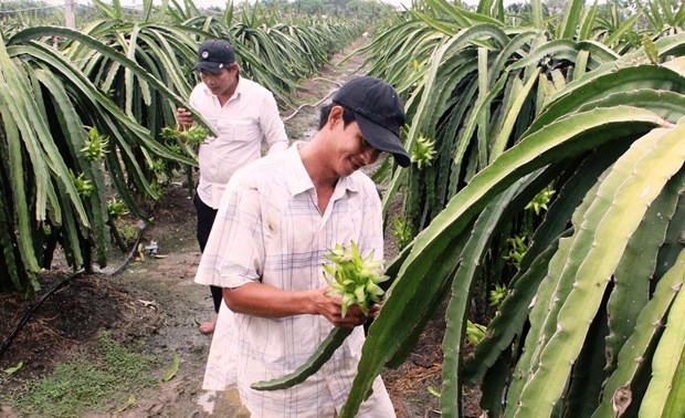 Long An strives to have 3,000 ha of dragon fruit farms under VietGAP hinh anh 1