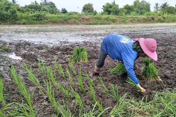 Thailand's rice strategy to focus on yield, variety hinh anh 1