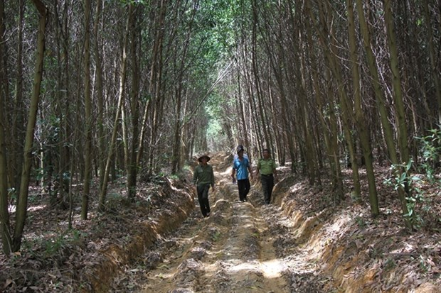 Central Highlands district achieves efficiency in growing forests hinh anh 1