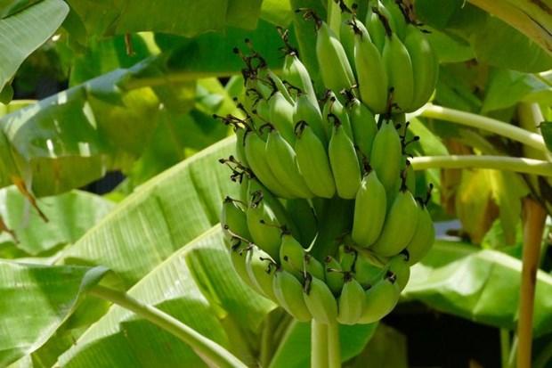 Banana tops Lao agriculture exports to China hinh anh 1
