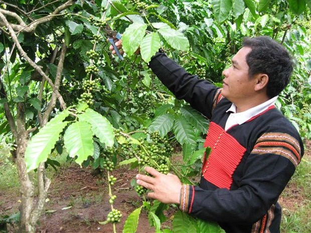 36,000 ha of coffee sustainably grown in central highlands under VnSAT project hinh anh 1