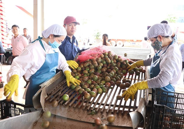Gia Lai exports 100 tonnes of passionfruit to EU under EVFTA hinh anh 1
