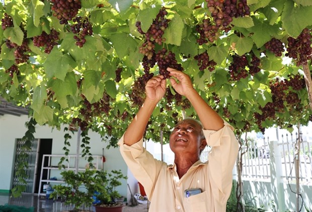 Ninh Thuan province develops superior grape variety hinh anh 1