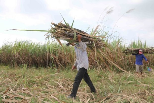 Sugar firms struggle due to ATIGA hinh anh 1