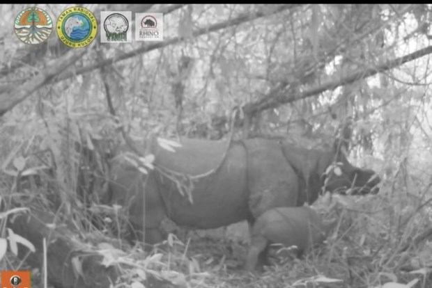 Two endangered Javan rhino calves spotted in Indonesia hinh anh 1