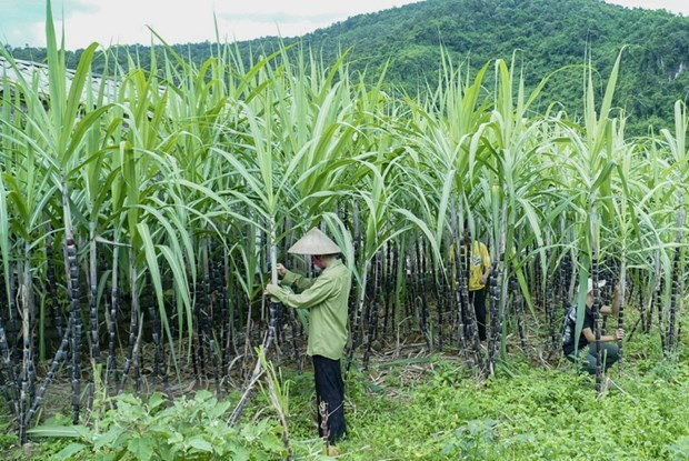 Vietnam initiates anti-dumping investigation on sugar imported from Thailand hinh anh 1