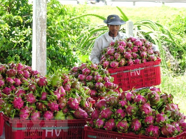 Geographical indication helps Binh Thuan dragon fruit conquer foreign markets hinh anh 1