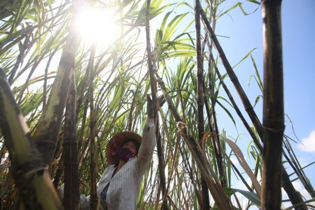 Opportunities await sugarcane farmers if they change way of thinking hinh anh 1