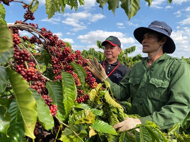 Nestle programme helps increase coffee farmers' incomes hinh anh 1