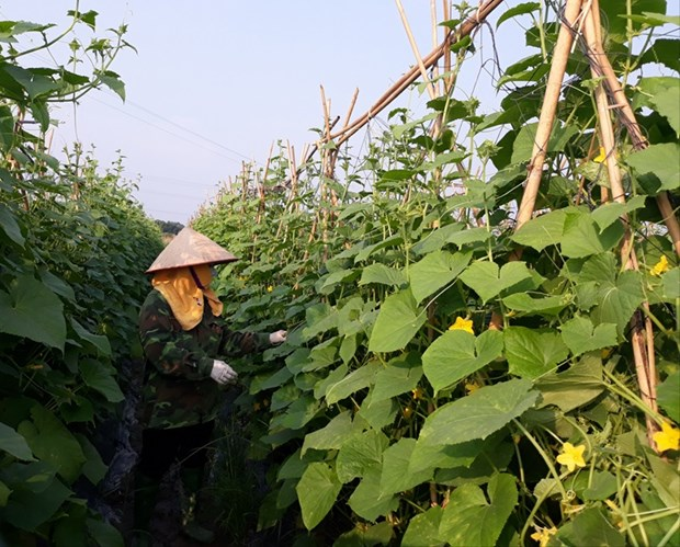 Agriculture contributes 0.13 percentage point to Vinh Phuc's growth hinh anh 1