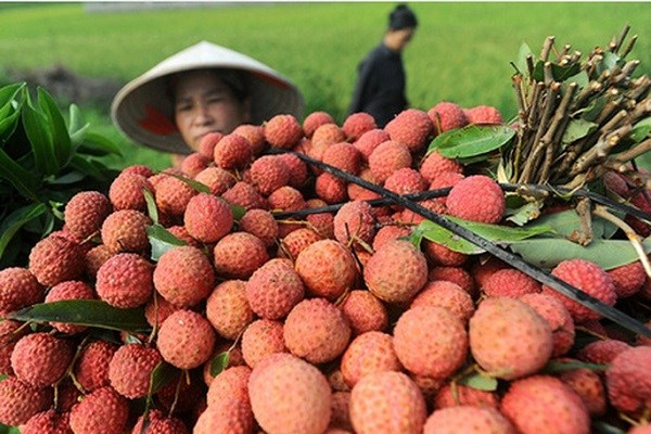 Hai Duong's lychee, longan export successful beyond expectation hinh anh 1