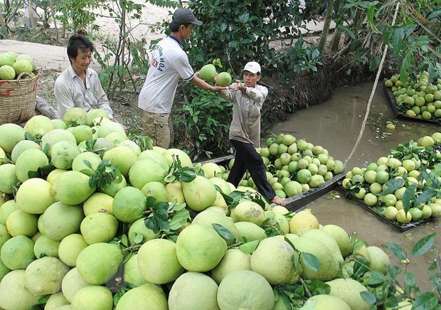 Chile opens door for Vietnam's pomelo hinh anh 1