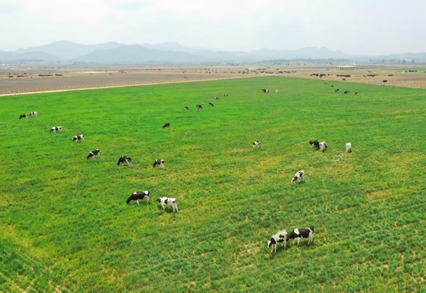 Vinamilk plans to import 1,200 milch cows from US in 2021 hinh anh 1