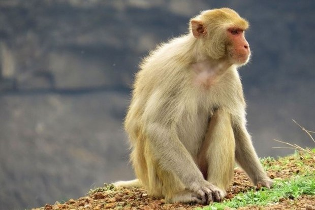 Vietnam tests COVID-19 vaccine on monkeys hinh anh 1