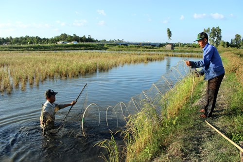 Ca Mau expands cultivation of giant river prawns, rice in same rice fields hinh anh 1