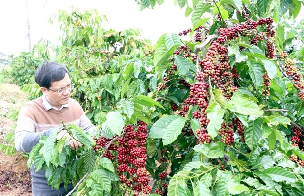 Central Highlands faces labour shortages on coffee plantations hinh anh 1
