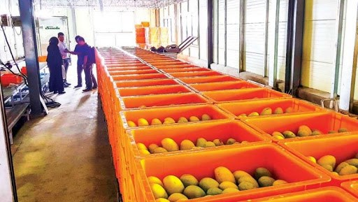 Cambodia ships first batch of fresh mangos to China hinh anh 1