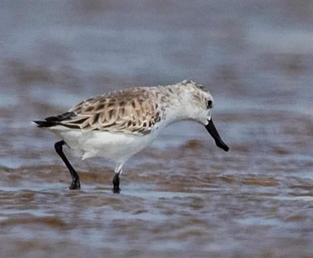 Endangered migratory bird species found in Da Nang hinh anh 1