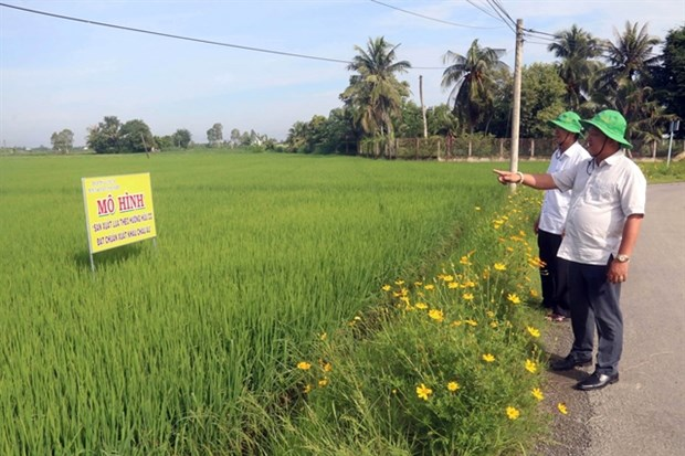 Mekong Delta district to grow only high-quality rice hinh anh 1