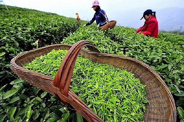 Tea industry projected to fulfil 2020 target despite pandemic hinh anh 1