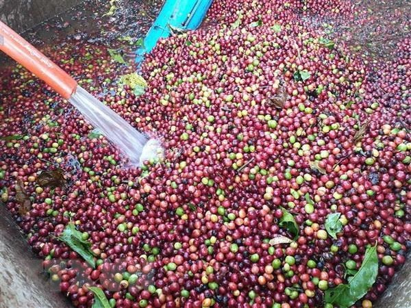 Vietnam develops high-quality coffee hinh anh 1
