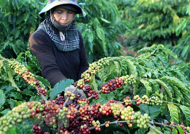 Vietnam exports over 1.7 million tonnes of coffee in 2020 hinh anh 1
