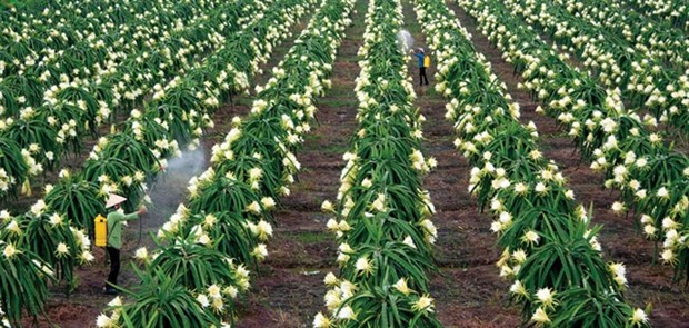 Vietnamese dragon fruit needs to find new export markets: Experts hinh anh 1