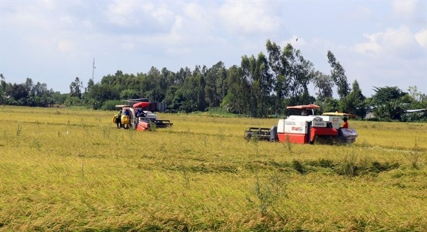 Thousands of hectares of rice affected by salinity, diseases in Kien Giang hinh anh 1