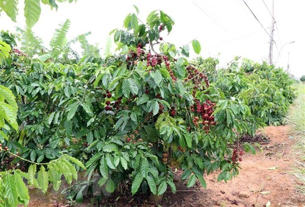 Difficulties still ahead for coffee sector: insiders hinh anh 1