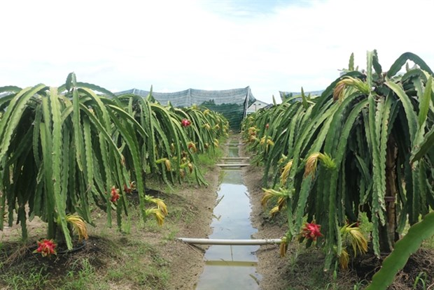 Long An expands organic dragon fruit cultivation hinh anh 1