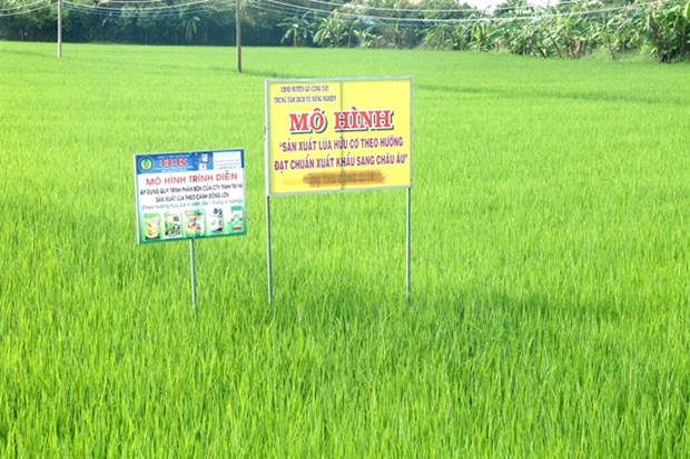 Tien Giang province expands high-tech rice cultivation hinh anh 1