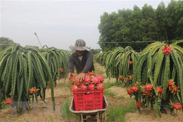 First dragon fruit lot exported to China in new Lunar Year hinh anh 1