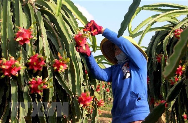 Over 14,000 tonnes of dragon fruit exported to China via Lao Cai border gates hinh anh 1