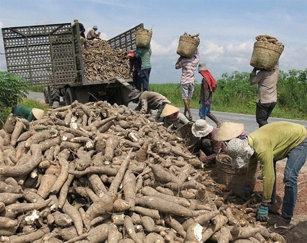Exports of cassava, by-products surge since new year hinh anh 1