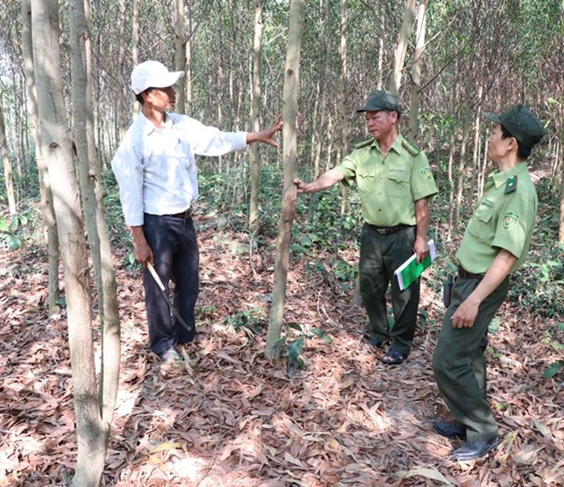 Gia Lai rapidly expands forest cover, helps improve livelihoods hinh anh 1