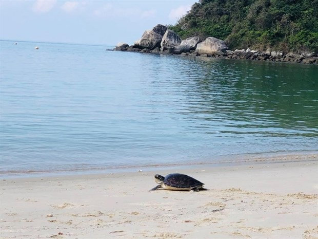Endangered sea turtle returned to ocean hinh anh 1