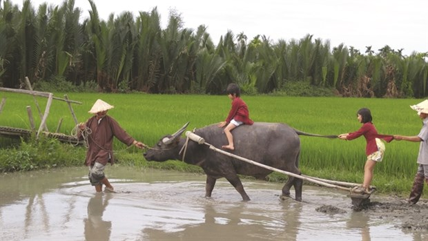 Buffalo tours in Hoi An prove a hit hinh anh 1
