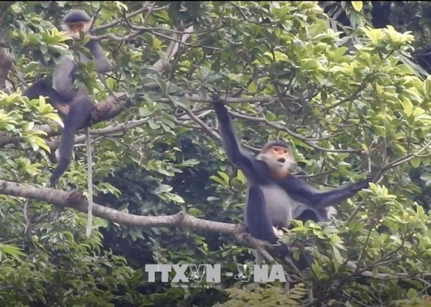 Quang Nam to expand habitat of grey-shanked douc langur hinh anh 1