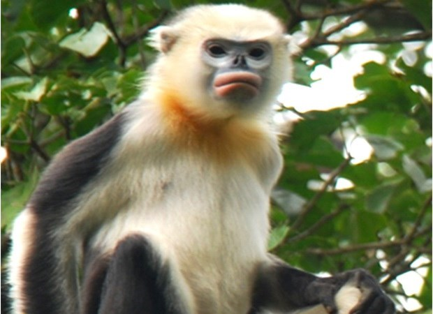 Ha Giang forest rangers work to preserve Tonkin snub-nosed monkeys hinh anh 1