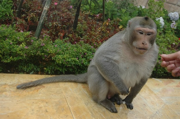 Da Nang urges protection of endangered primate population hinh anh 1
