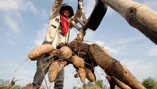 Cambodia's cassava prices increase over lower yield hinh anh 1