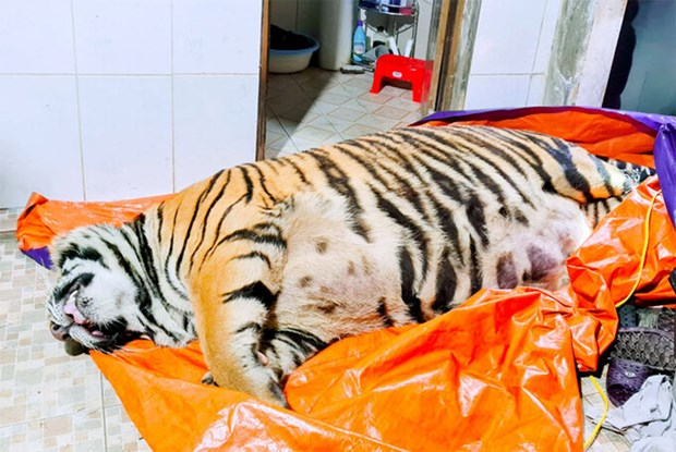 Ha Tinh police prosecute tiger bone glue maker hinh anh 1